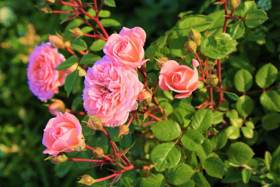 Fiori per un matrimonio: la rosa inglese