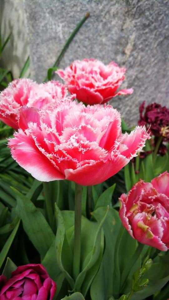 Fiori per un matrimonio: il tulipano