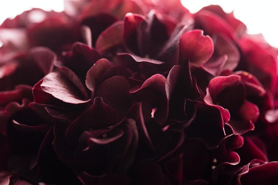 Fiori per un matrimonio: l'ortensia
